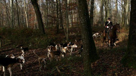 Un cavalier en tenue de chasse à courre avec la meute des chiens sur un chemin forestier.