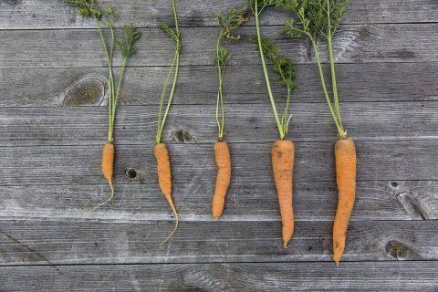 photo de carottes