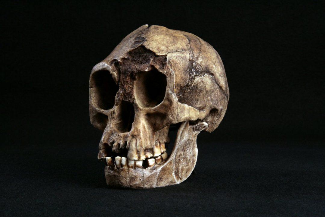 Crâne fossile d'Homo de Florès